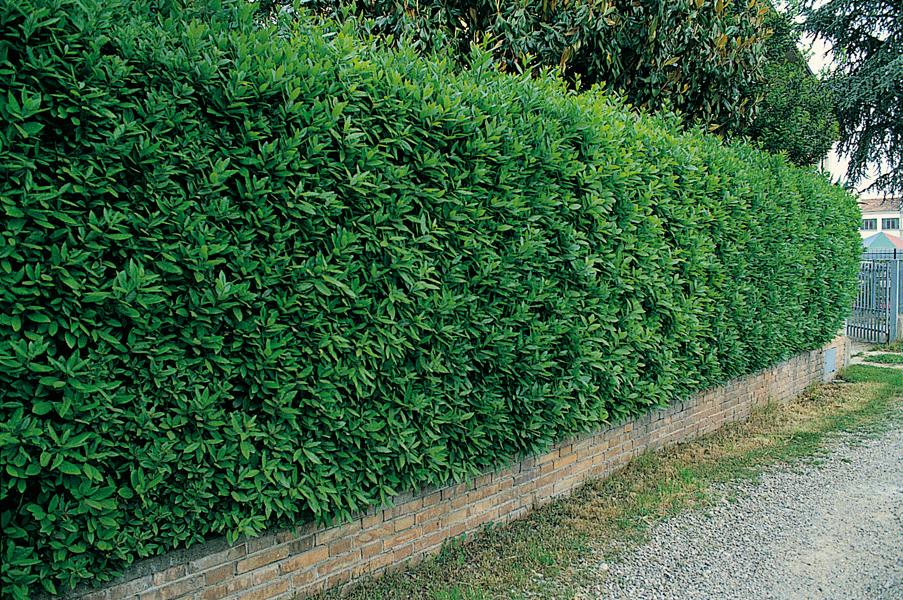 Prodotti garden valli barigarden valli bari for Piante da siepe
